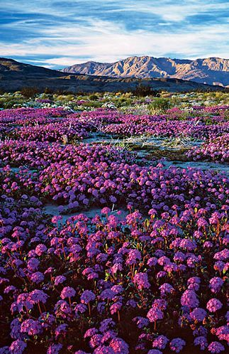 ~~Southern California's desert glory Don't miss Anza-Borrego's March wildflowers | the beauty of Anza-Borrego's wildflower bloom ― often the best in California, and one of the best in all the West ― is not just the physical display but its ephemeral nature. This is glory on the go | Sunset~~