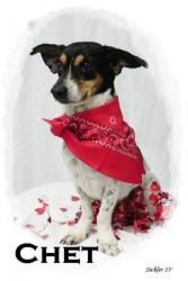 Chet Is An Adoptable Urgent Ratterrier Dog In Emporia Kansas