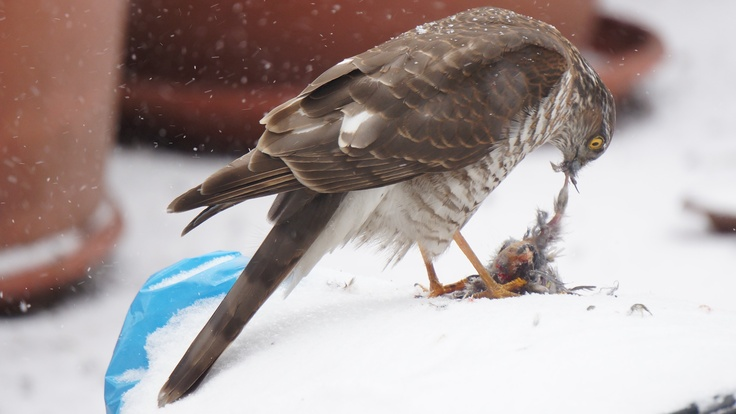 Eurasian Sparrowhawk at her lunch