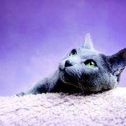 Petplan katten - Blauwe Rus