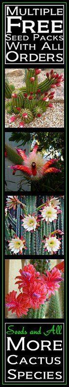 Seeds - Mammillaria sempervivi Seeds - Verified Seller - Exotic Succulent Cactus - NEW for sale in Port Elizabeth (ID:264962114)