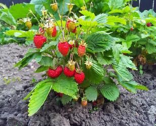 Strawberry Plants For Sale Ever Bearing Buy Online Fall Planting