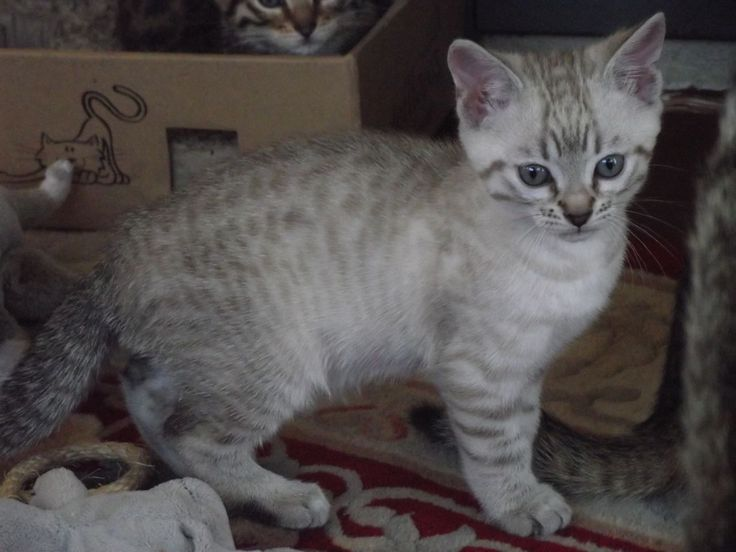 snow bengal cats related pictures bengal cats for sale