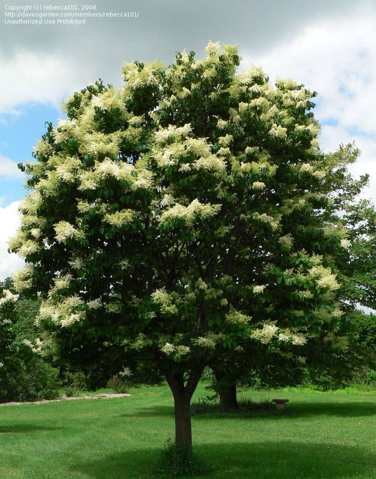 japanese tree lilac | ... picture of Japanese Tree Lilac 'Summer Snow' ( Syringa reticulata