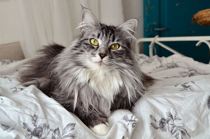 Best 25 Norwegian Forest Cat Ideas On Pinterest Forest