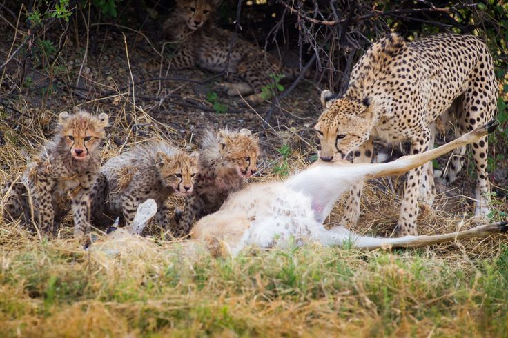 Mombo is Alive with Daytime Prowlers #cheetah