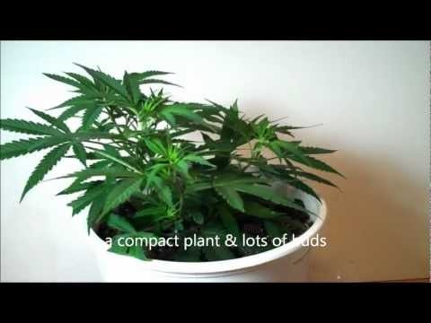 How to prune marijuana using Low Stress Training. LST is like bonsai for MMJ or espalier for pot. JetCityOrange.com/MMJ/pruning