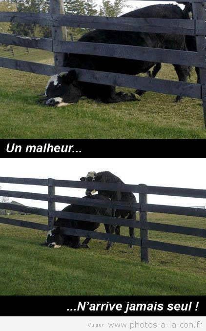 image drole vache | Images drôles, Humour, Images droles humour