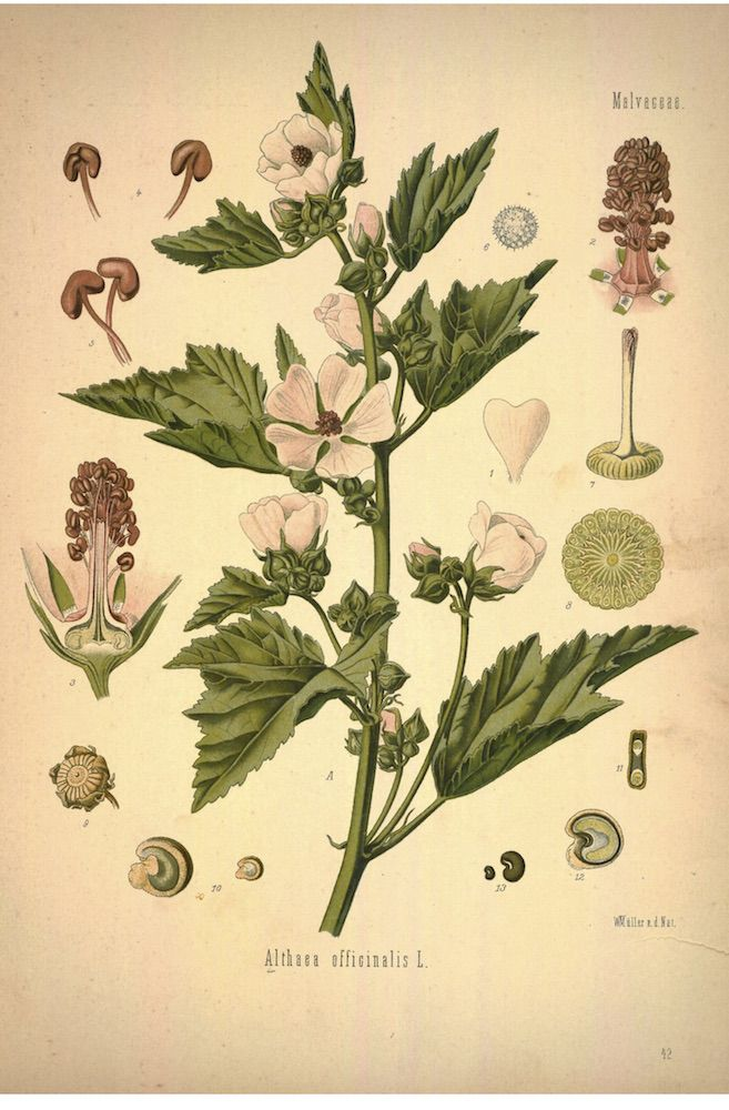 Marshmallow_pic: Chestnut School of Herbal Medicine
