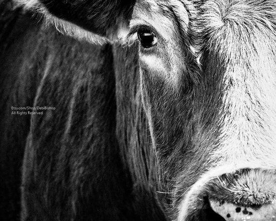 Big Black Angus Cow Very Closeup - Farm Animal Cow Art -Photography Black &…