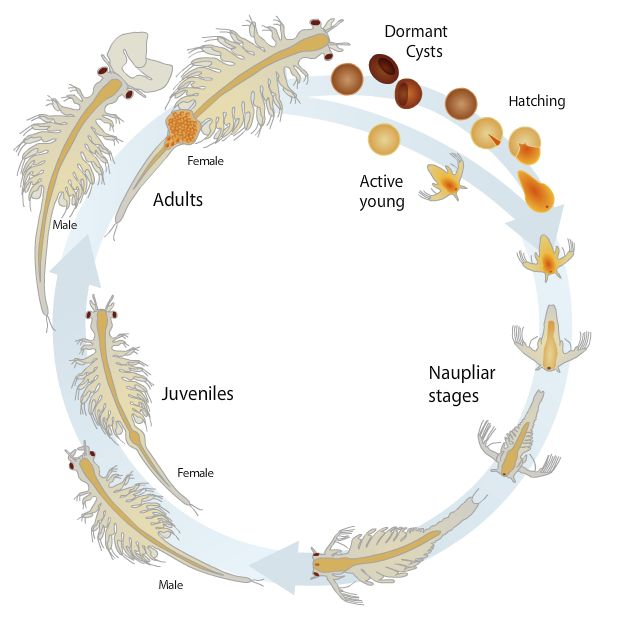 The brine shrimp life cycle http://www.brineshrimpdirect.com/res-hatching-c169.html