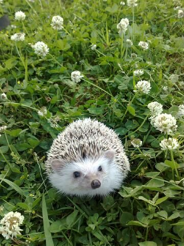 Hedgehogs are some of the cutest animals around