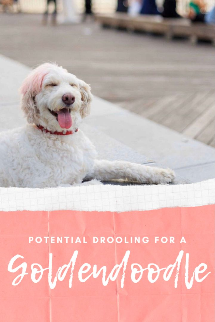 Goldendoodle Temperament Take It From 90 Goldendoodle Parents In