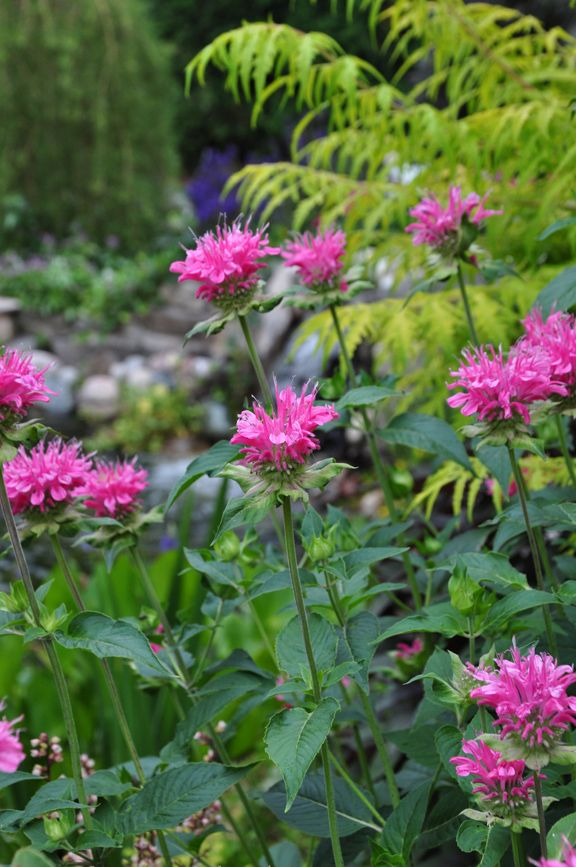 "Three Dogs in a Garden: A Small Garden with a Pretty Pond Monarda ""Marshall's Delight"" - bee balm"
