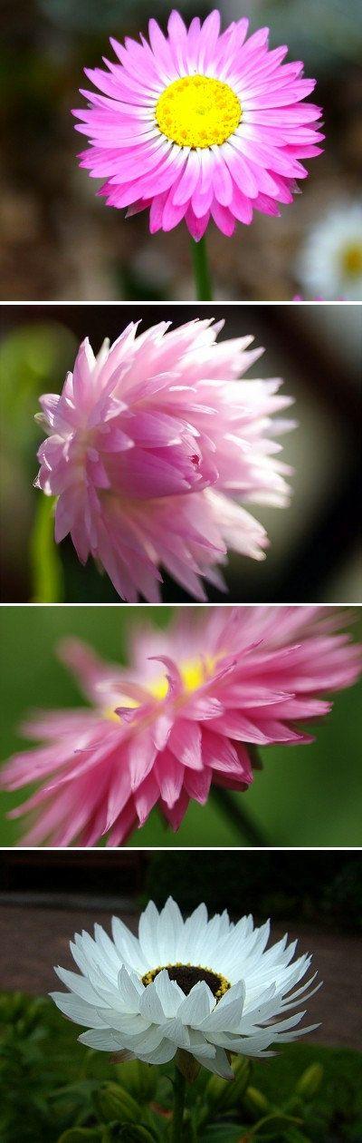 Heirloom 500 Seeds Helipterum Australian Crisp Everlasting Annual Pink Flower Bulk Seeds B0072