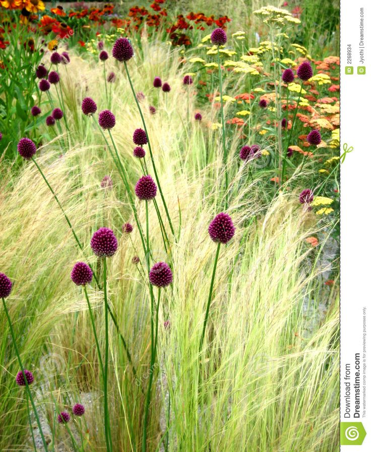 Drumstick allium interplanted with grasses gardens for Wild grass gardens