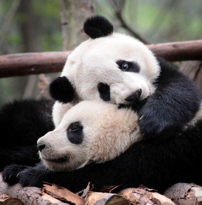 I cuccioli alla ricerca di coccole: mamma panda non delude
