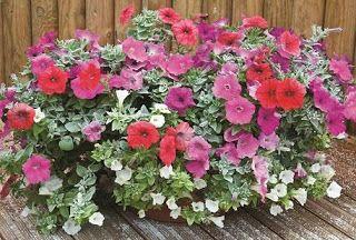 Petuniile sunt flori din familia Solanaceae, originare din America de Sud (Brazilia). Familia Solanaceae include pătlăgelele roşii, pătlăgel...
