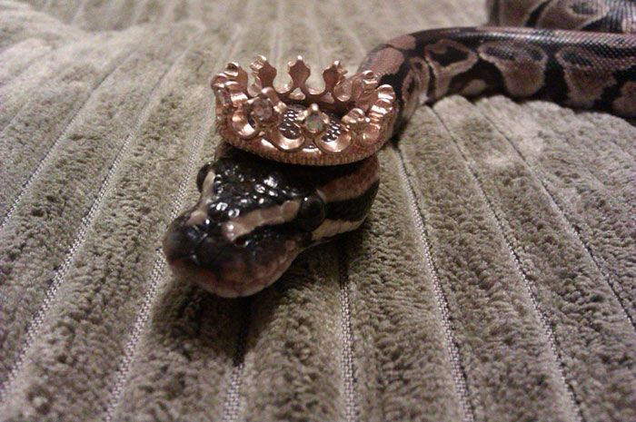 I've heard of the King snake, but this is just too much!!!
