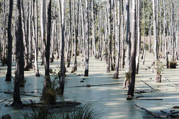 Birch woods in Masurian Lake District, Poland (Mazury)