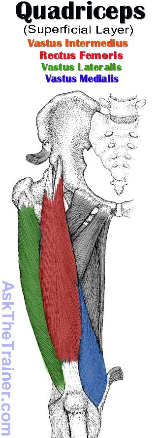 Superficial Layer of Quadriceps Femoris | Great reference for visualizing muscles.