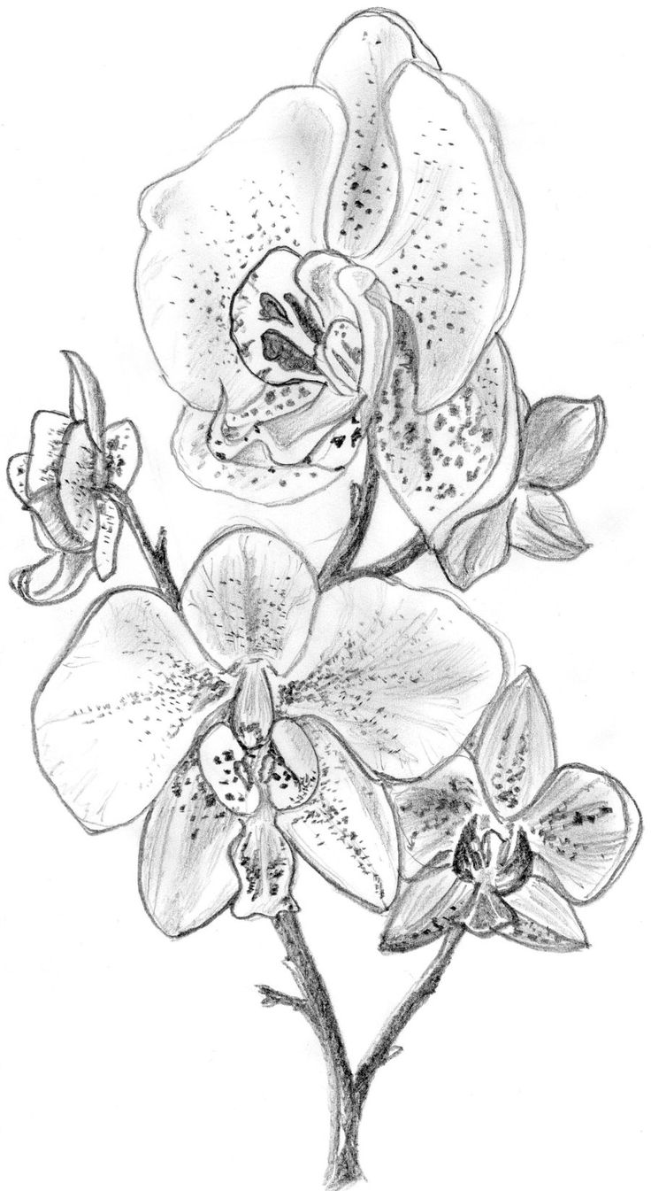 Orchid Flower Line Drawing : Best flower sketches ideas on pinterest