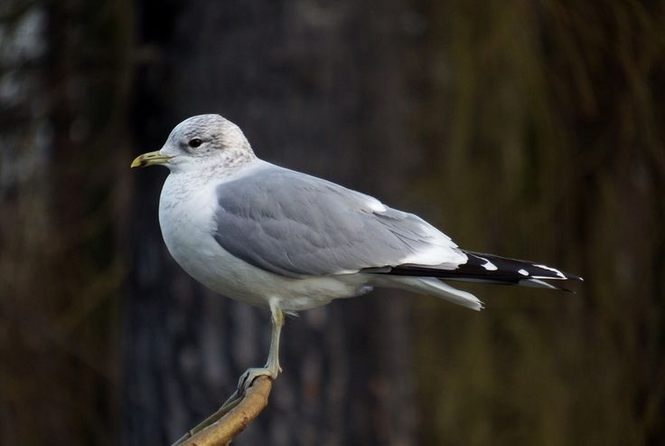 mewa siwa, common gull