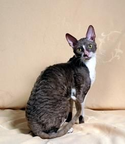 Cornish Rex- see @Kelly Teske Goldsworthy Teske Goldsworthy reno and @Molly Simon Simon mayhoff This is what spike is supposed to look like!!!