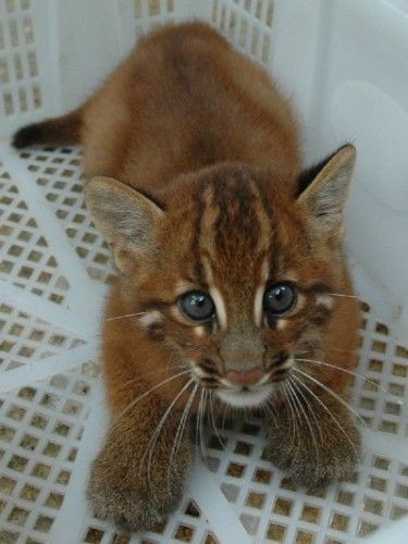 asian golden cat kitten