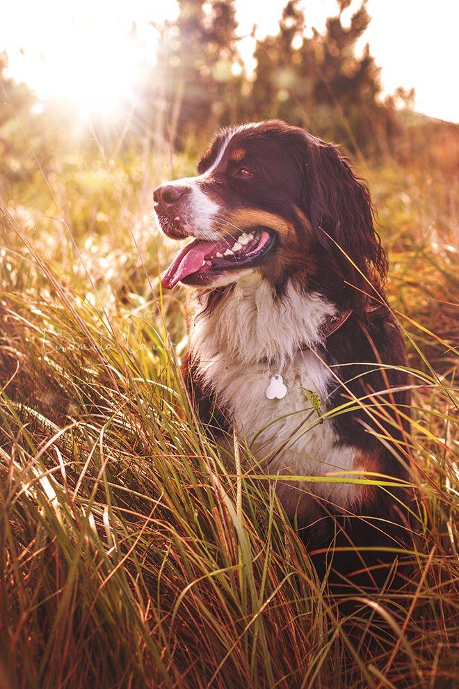 Sunny Von Bayern Berner Sennenhund