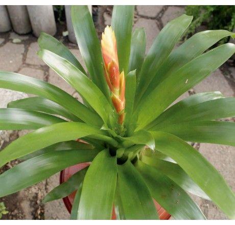 Planta Bromelia | Venta de Plantas y Semillas | Tienda Online