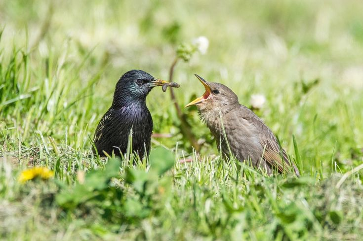common starling feeding