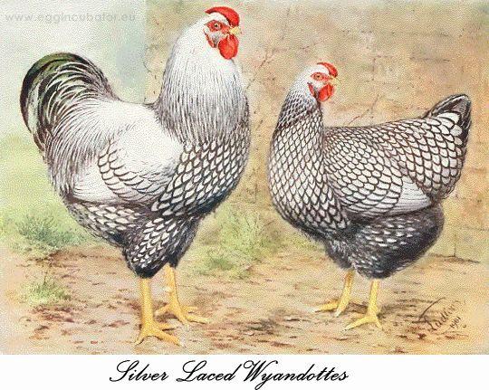 Silver laced Wyandottes