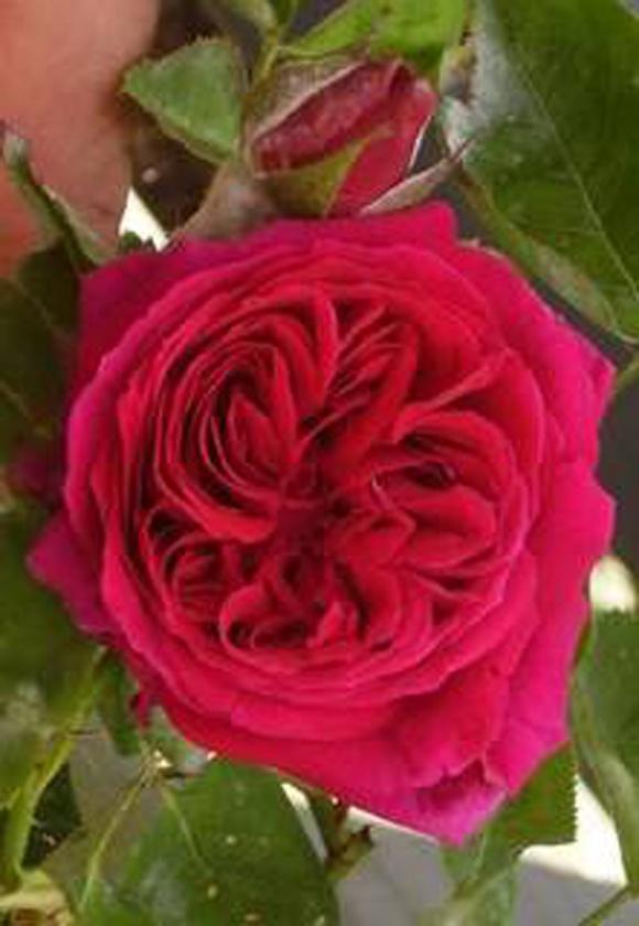 Roses Named After Celebrities George Washington Rose