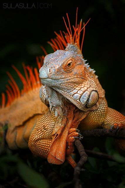 "earthlynation: "" Green Iguana. Photo by Petr Bambousek """