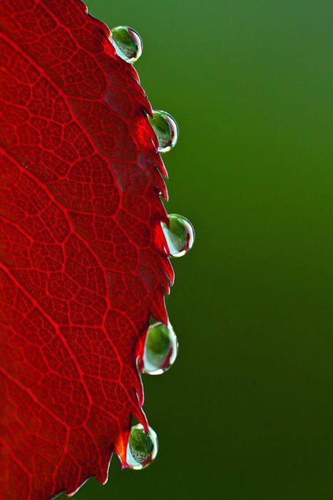 Droplets...: Water Art, Waterndew Drop, Dew Droplets, Waterdrop, Dewdrop, Photo, Mornings Dew, Water Droplets, Beautiful Drop