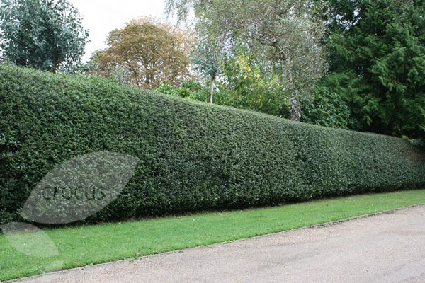 Nellie Stevens Holly Hedge Use Instead Of Fencing
