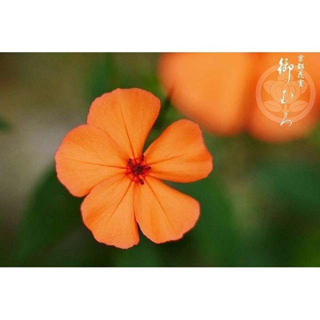【kyoto_flowerhouse_omuro】さんのInstagramをピンしています。 《【メディアで話題の京都老舗花屋】 お誕生日を迎えられた皆様、おめでとうございます。 9月14日の誕生花は【フシグロセンノウ】です。花言葉は『転職・転機』などです。 京都花室 おむろでは、 #桜盆栽 など、たくさんのフラワーギフトを販売しております。詳しくはウェブをご覧ください。検索:【おむろ】 #京都花室おむろ #おむろ #花 #誕生花 #胡蝶蘭 #蘭 #桜 #盆栽 #御室桜 #祝 #誕生日プレゼント #誕生日おめでとう #仁和寺 #御室仁和寺 #omuro #flower #birthdayflowers #orchid #sakura #cherryblossom #bonsai #omurosakura #anniversary #birthdaypresent #japan #ninnaji #omuroninnajistation》
