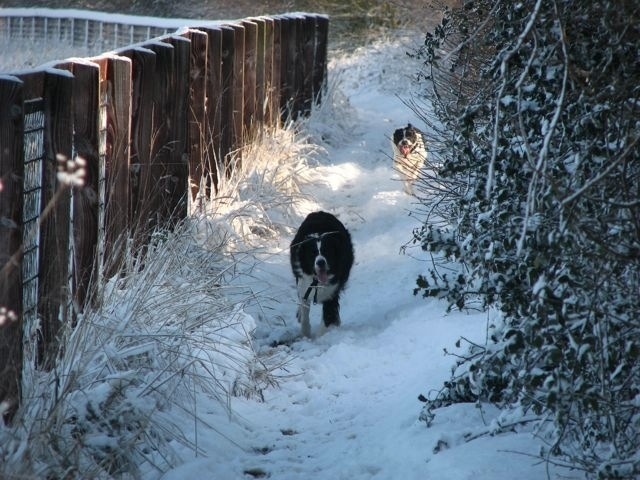 Border Collies - Catch me if you can.
