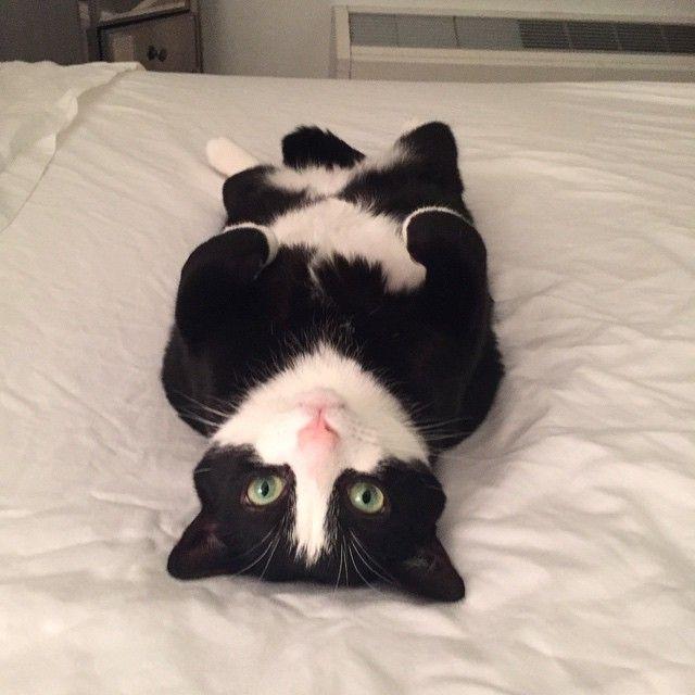 chihuahua cat crossword