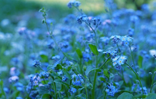 Обои картинки фото незабудки, голубые, синие, цветы