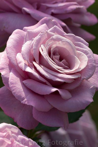 Rose 'Reue Dún Soir'!