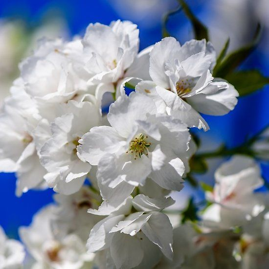 Cherry Blossoms On Blue Sky Background.