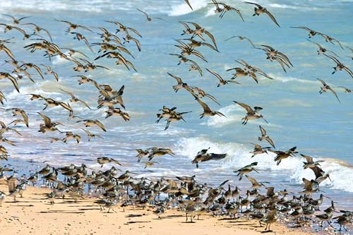 About two million shorebirds migrate up to 25,000km on a round trip between the Arctic and Australia's north-west and Top End for a summer feast like no other.