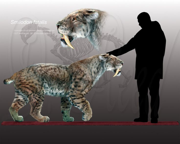 extinct smilodon Selected bibliography anderson, e parallels between playbacks and pleistocene tar seeps suggest sociality in an extinct sabretooth cat, smilodon.