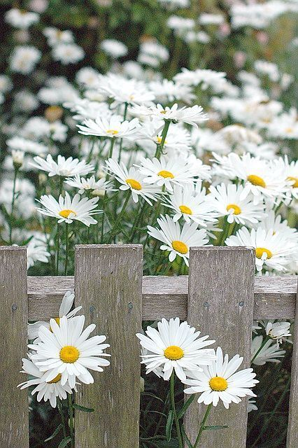 daisies and white fence