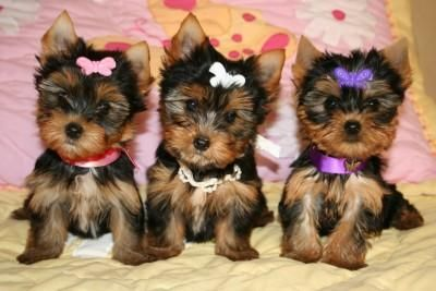Adorable Yorkie puppies! :)