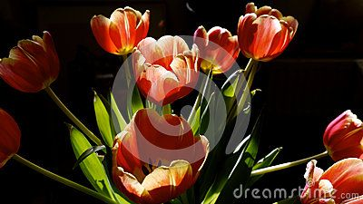 Easter bouquet of red and yellow tulips highlighted by sunshine with a black background.