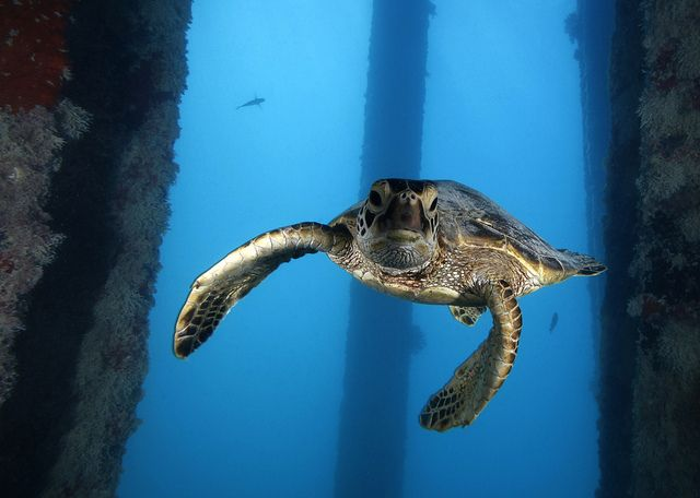 Juvenile green sea turtle underneath the Midway Island Pier in the  Papahānaumokuākea Marine National Monument.Credit: Greg McFall