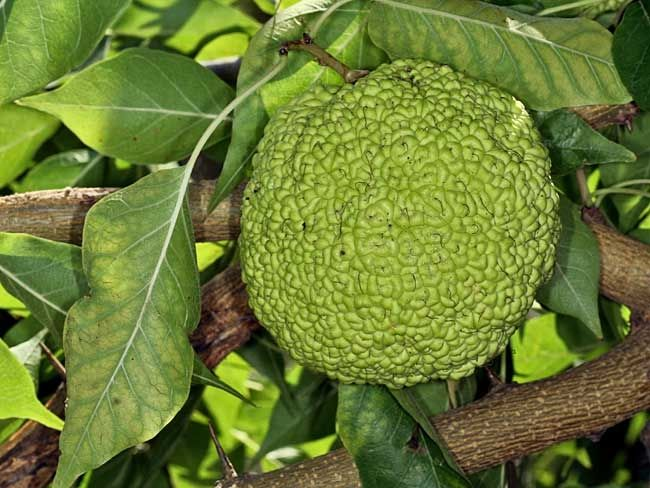 Маклюра или адамово яблоко